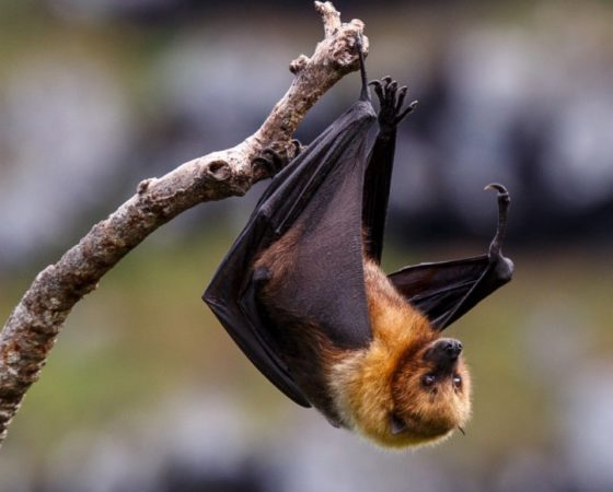 Is the nipah virus worrisome?