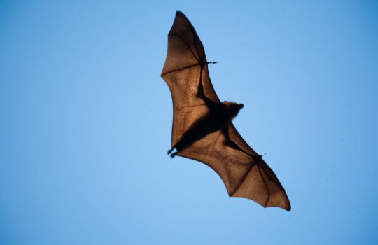 Bats and war !