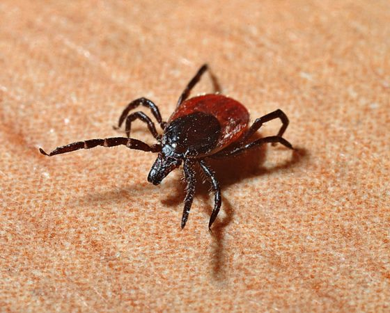 Lyme disease: CBRN biological weapon?